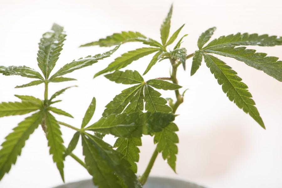 医療大麻 現状
